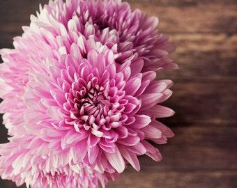 flower photography, rustic home decor, large living room art, pink home decor, still life art, pink mums, square art, floral art