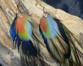 Natural Rainbow feather earrings with gold wire wrap spirals, cruelty free feathers from our own birds