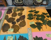 Choose your Leaves Grown in Alaska Real Pressed Leaves Preserved and Dried 318 FL