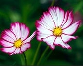Organic Cosmos Candy Stripe Picotee Flower Wildflower Heirloom Seeds