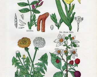 Antique Print of Medicinal and Culinary Herbs, Licorice, Iris, Dandelion, Blackberry