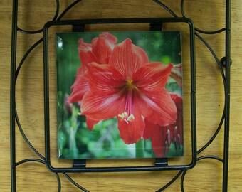 Amaryllis Flower Glass Tile Trivet, Hot Food Trivet, Nature Photography, Red Amaryllis Flower, Glass Tile