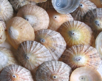 37 Large Sea Shells Dangles Centre Drilled 1.5mm holes Crafting Supplies (1742)