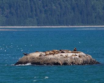 Sea Lion Photograph - 11x14 Photo Print of Glacier Bay Sea Lions in Alaska