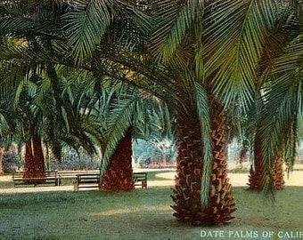Antique California Postcard - Date Palms of California (Unused)