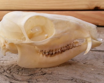 Mouse Deer Skull - Chevrotain-Collector Quality- Lot No. 160401-O