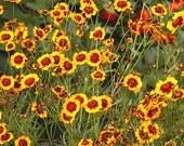 Plains Coreopsis Seeds (Coreopsis tinctoria)