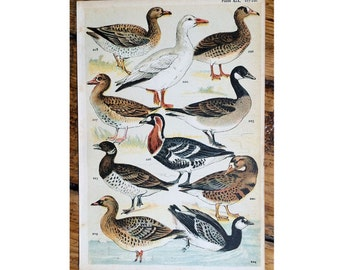 1904 birds original antique ornithology print color lithograph - ducks water fowl