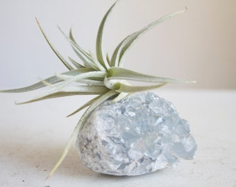 Airplant on Geode, Unique Celestite Crystal, Air Plant Crystal Garden, Living Decor, Boho Style, Gift For Her Under 50, Pale Blue