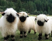 Valais Blacknose Rare breed Wool (Washed RAW) Felting or Blending, and Spinning