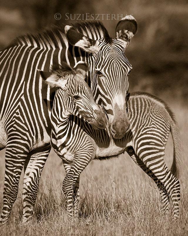 Baby Zebras In Africa BABY ZEBRA and MOM Pho...