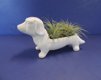 White dachshund dog with two air plants. Perfect gift for dog or plant lover.