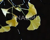 Ginkgo tree yellow leaves fantasy on black background. Fine Art Photography archival pigment square print. Home office wall decor abstract
