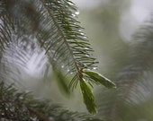 Blue Spruce Jelly