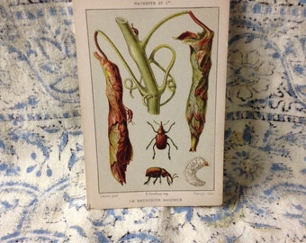 beetle learning card le rhynchite bacchus vintage flashcard school french insect learning bug