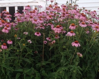 40+ seeds, Purple Coneflower, Echinacea purperea