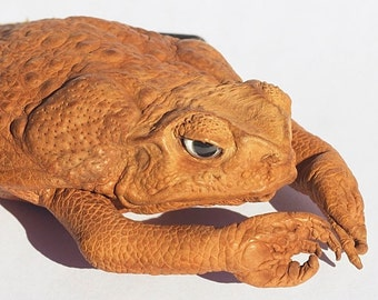 Cane Toad Coin Purse natural Collectable