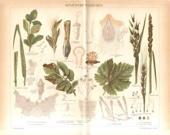 1896 Plant Diseases, Phytopathology or Plant Pathology Original Antique Chromolithograph