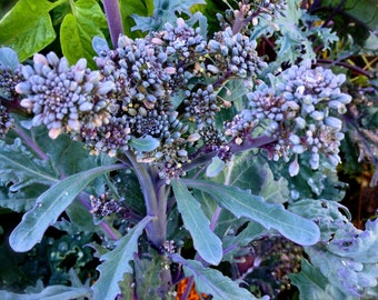Broccoli Purple Peacock Open Pollinated Excellent Flavor with Edible Small Leaves and Many Sprouting Type Shoots Quick Growing Rare Seeds