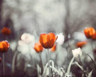 "Burnt Orange Grey Photography - gray dark black orange tulip art print flower photograph floral wall art living room decor, ""Emerging Life"""