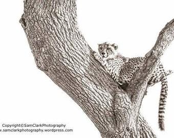 Cheetah, Big Cat, African Cheetah, Cheetah Photo, Cheetah Photograph, cat photo