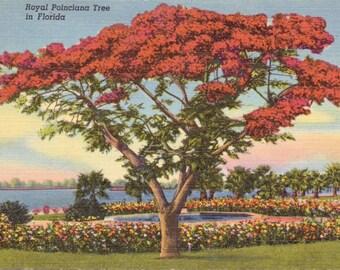 Florida, Royal Poinciana Tree - Linen Postcard - Vintage Postcard - Unused (Q)