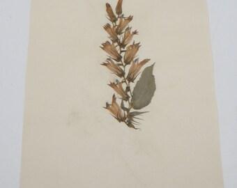 1942 Antique Botanical Labelia, Blue, Pressed Dried Herbarium