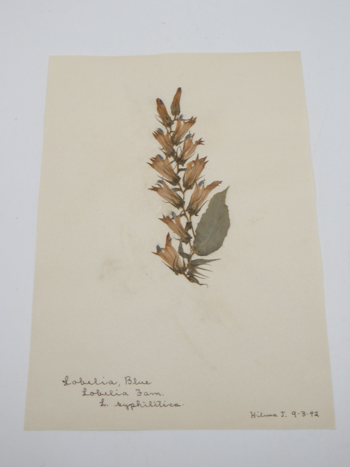 1942 antique botanical labelia blue pressed dried herbarium - Model herbarium ...