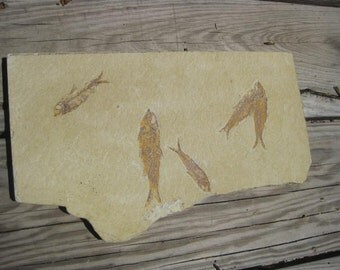 Fossil Fish - teaching aid - Lapidary