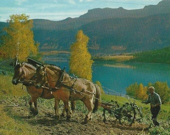 Working Fjords - Vintage 1970s Continental-sized Norwegian Horses Photo Postcard