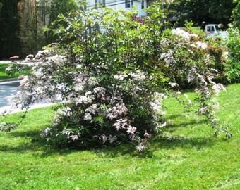 American Elderberry Tree Seeds, Sambucus canadensis - 25 Seeds