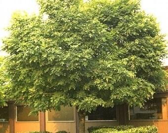 American Yellowwood Tree Seeds, Cladrastis lutea - 25 Seeds