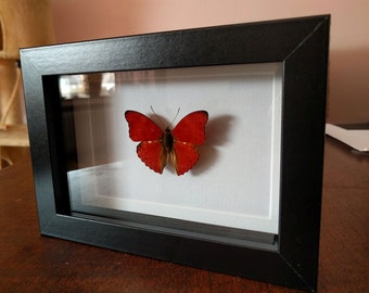 Blood red glider real butterfly in picture frame Entomology