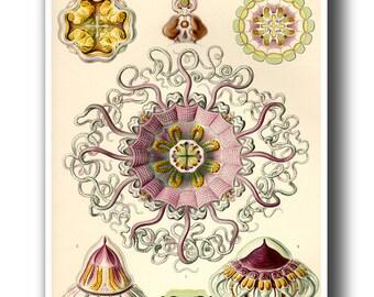 Jellyfish Poster, Jellyfish Art Print from Ernst Haeckel Illustration, Coastal Decor, Marine Life, Wall Decor, Natural History Wall Art,