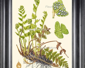 Antique Fern Lindman 8X10 Botanical Art Print 4 Antique Beautiful Green Ferns Forest Nature Chart Bedroom Dining Room to Frame Wall Decor