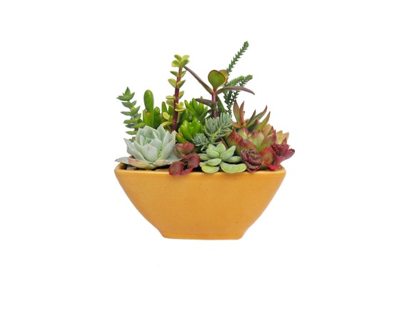 Succulent Small Dish Garden Arrangement in a Ceramic Planter