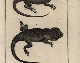 Original Antique Natural History copperplate of Reptiles - Histoire Naturele by the Buffon de comte - 1790 - Aguna Lizard Black and white