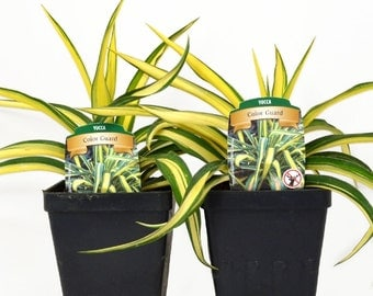 Set of 2 Yucca Color Guard Adams Needle Plants Organic Grown Shipped in 4 inch Container, with soil.