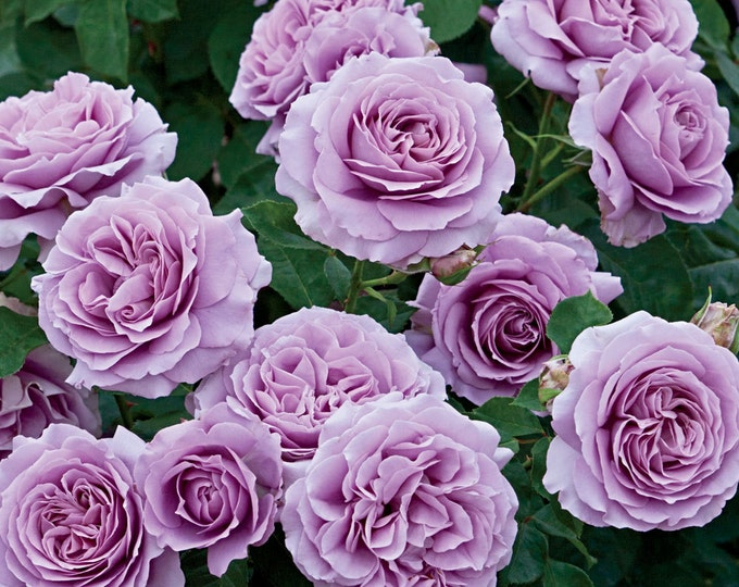 Love Song ™  Rose Bush - Fragrant Lavender Purple Flowers - Own Root Plant Grown Organic Potted Grown Organic - Ships Now