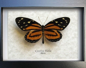 Tropical Milkweed Lycorea Halia Real Butterfly Framed In Museum Quality Shadowbox