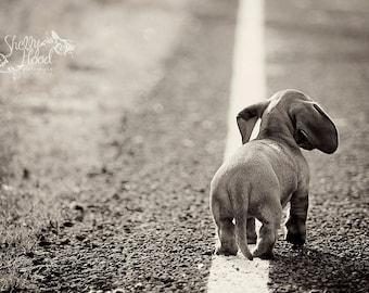 Mini Dachshund Art Print - Animal Decor - Dog Photography Print - Fine Art Wall Hanging - Living Room Decor - Dog Decor - Puppy Art