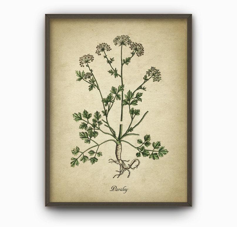 Kitchen Herbs Wall Art Print Set Of 6 Vintage Botanical Herb