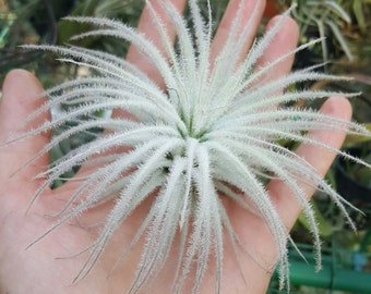 Airplant tectorum medium Tillandsia
