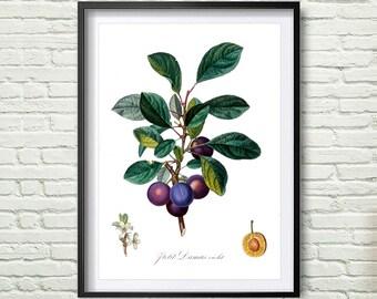 3 Colors Background, Antique botanical print, Plum Print, illustration digital download, Botanical Vintage Art Prints, Vintage poster *10*