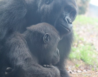Gorilla Mom and Baby Print