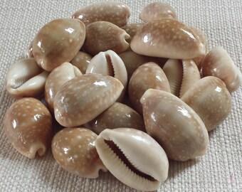 Cowrie Shells, Small Shells, Beach Decor, Seashells, Shells, Craft Shells, Deer Cowrie
