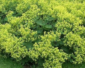 Lady's Mantle- 50 Seeds