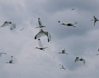 Ibis Birds Photography birds flying  Fine Art Photograph Home Decor