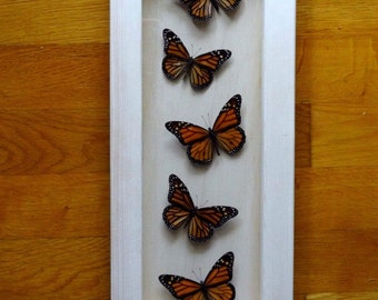 Real Danaus Plexippus Group Framed - Taxidermy - Monarch Butterfly - Home Decoration - Collectibles
