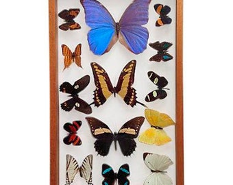 Brazilian Butterfly Collection